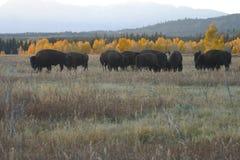 Rebanho do búfalo com árvores do outono Fotos de Stock Royalty Free