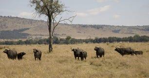 Rebanho do búfalo de cabo em Kenya Fotos de Stock Royalty Free