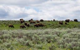Rebanho do bisonte Imagens de Stock