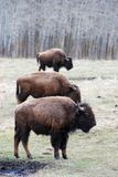 Rebanho do bisonte Fotografia de Stock Royalty Free