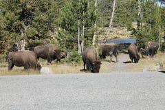 Rebanho do bisonte Fotografia de Stock