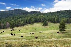 Rebanho do bisonte americano, Custer State Park, South Dakota, EUA fotografia de stock
