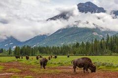 Rebanho do bisonte americano ou do búfalo com fundo da montanha foto de stock