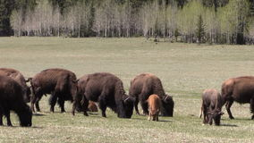 Rebanho do bisonte que pasta filme
