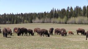 Rebanho do bisonte que pasta video estoque
