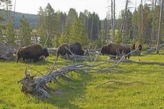 Rebanho do bisonte que pasta perto de um geyser térmico no parque nacional de Yellowstone Fotografia de Stock