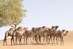 Rebanho do camelo Fotografia de Stock