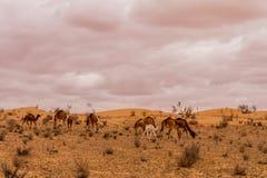 Rebanho do camelo do dromedário Foto de Stock
