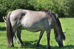 Rebanho do cavalo selvagem de Tarpane em Neandertal Fotografia de Stock