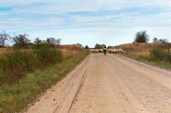 Rebanho do ciclista e dos carneiros em uma estrada secundária fotografia de stock