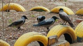 Rebanho do corvo vídeos de arquivo