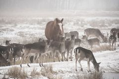 Rebanho do dama do Dama dos gamos que anda ao redor no dia de inverno enevoado acompanhado do cavalo doméstico imagens de stock