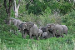 Rebanho do elefante Foto de Stock
