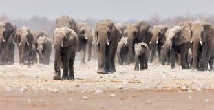 Rebanho do elefante Imagens de Stock