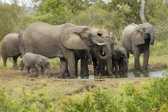 Rebanho 1 do elefante Imagens de Stock