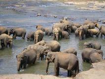Rebanho do elefante Fotografia de Stock