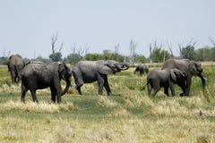 Rebanho do elefante africano Imagens de Stock Royalty Free