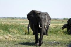 Rebanho do elefante africano Fotos de Stock Royalty Free