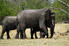 Rebanho do elefante africano Fotografia de Stock