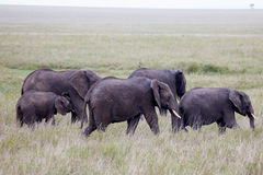Rebanho do elefante africano Foto de Stock