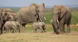 Rebanho do elefante com os 2 bebês minúsculos Foto de Stock