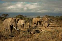 Rebanho do elefante no savana Fotos de Stock Royalty Free