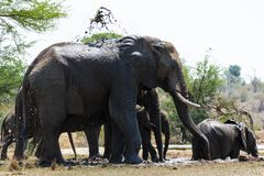Rebanho do elefante que refrigera para baixo após uma caminhada longa foto de stock royalty free