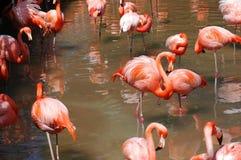 Rebanho do flamingo Fotografia de Stock