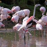 Rebanho do flamingo Fotografia de Stock Royalty Free