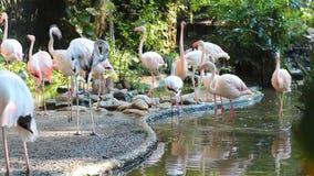 Rebanho do flamingo video estoque