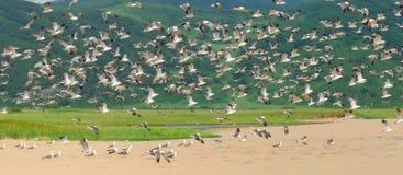 Rebanho do fundo das gaivotas Imagens de Stock