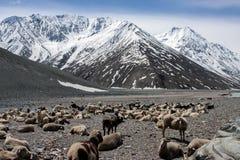 Rebanho do gado abaixo da montanha Imagem de Stock Royalty Free