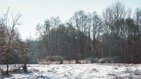 Rebanho do gado branco no inverno Forest Clearing fotos de stock