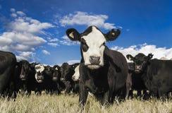 Rebanho do gado curioso no campo seco do verão, Nova Zelândia fotografia de stock