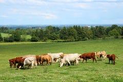Rebanho do gado que pasta Foto de Stock Royalty Free