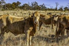 Rebanho do gado transversal do brâmane do charolês novo curioso imagem de stock