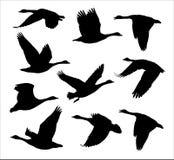 Rebanho do ganso canadense de Canad? dos gansos do voo ilustração do vetor