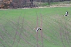 Rebanho do ganso do feijão que voa sobre o campo verde imagens de stock