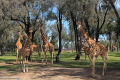 Rebanho do girafa Fotografia de Stock