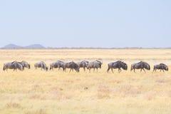 Rebanho do gnu azul que pasta no arbusto Safari no parque nacional de Etosha, destino famoso dos animais selvagens do curso em Na Imagem de Stock