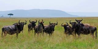Rebanho do Gnu que olha ao redor Imagens de Stock Royalty Free