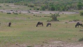 Rebanho do gnu que pasta em um savana africano do campo verde após uma chuva filme