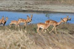 Rebanho do Impala Foto de Stock