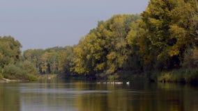 Rebanho do lago geese vídeos de arquivo