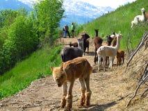 Rebanho do lama dos lamas no trajeto alpino com caminhantes dos caminhantes Foto de Stock Royalty Free