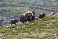 Rebanho do muskox Foto de Stock Royalty Free