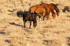 Rebanho do mustang no deserto imagens de stock royalty free