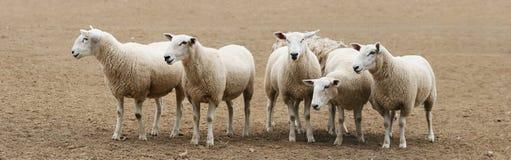 Rebanho do panorama dos carneiros Foto de Stock