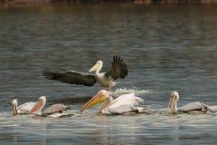 Rebanho do pelicano Dalmatian fotos de stock royalty free