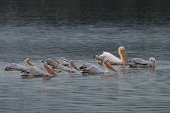 Rebanho do pelicano Dalmatian fotos de stock